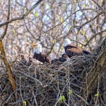 Eagle Family by Jim Gaston
