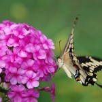 Phlox and Swallowtail by Lucinda Reynolds