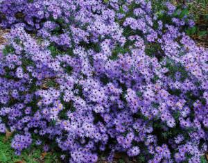'Raydon's Favorite' Aromatic aster
