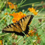 Swallowtail butterfly on 'Bright Lights' cosmos