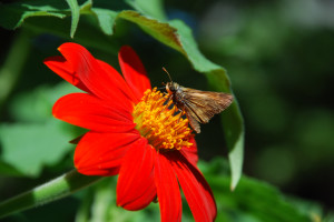 Skipper butterfly on Tithonia 'Torch'
