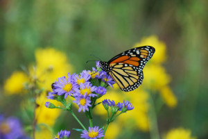 Monarch butterfly on 'Jindai' tatarian aster