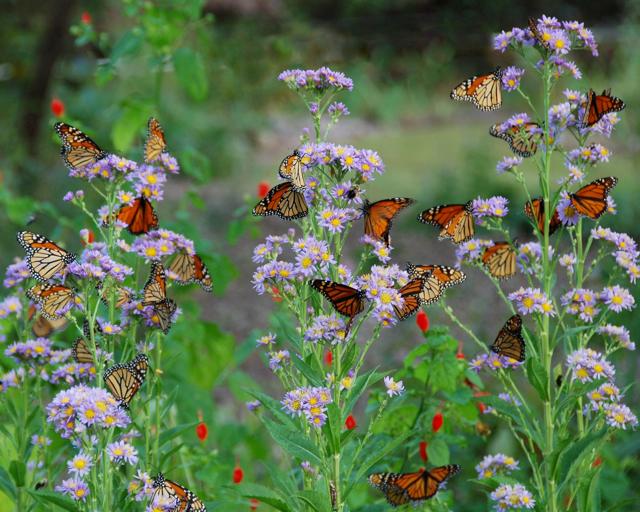 Monarch butterflies on 'Jindai' tatarian asters