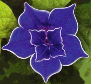 With a little Amazon shopping you could have this morning glory from the Livingston Seed Company.