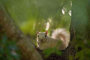 Albino squirrel.