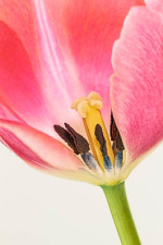Photo of pink tulip by  nature photographer Rose Maschek of Mountain Home.
