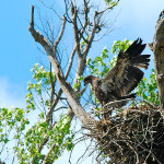 Nature Journal: Raising an Eagle Family on the White River